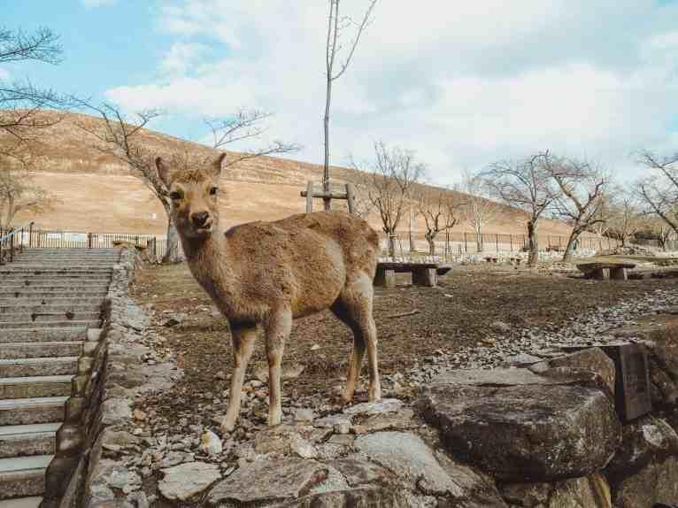 Nara Deer Park Japan