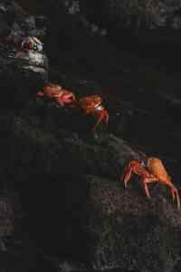 sally lightfoot crabs galapagos islands