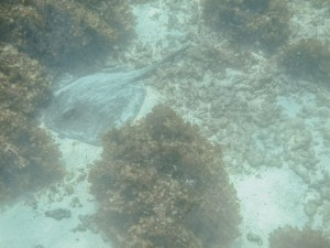 giant ray snorkeling in the galapagos islands