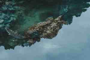 sea turtle galapagos islands Las Tintoreras