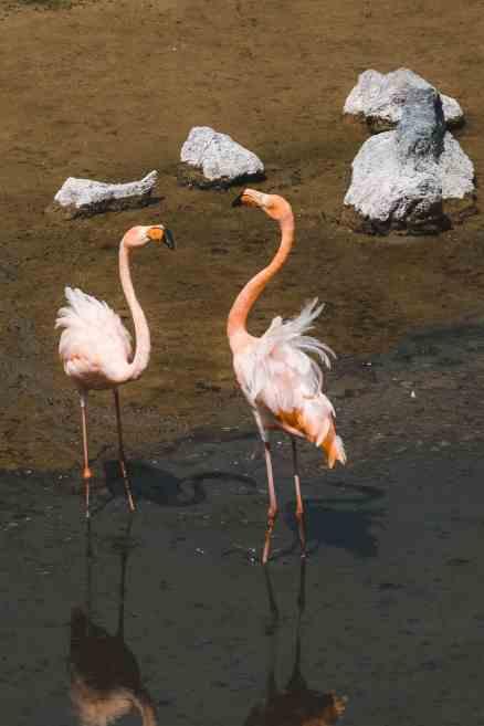 flamingo lagoon puerto vilamil galapagos islands flamingos