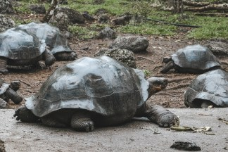 giant tortoise galapagos islands