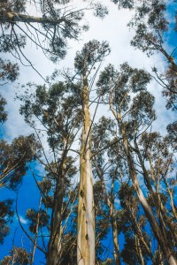 gum trees near dunedin new zealand