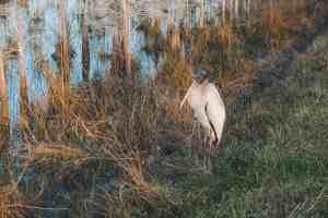 Stork in Everglades National Park