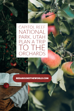 The orchards at Capitol Reef National Park are fun for couples. It's a great option for families visiting Capitol Reef as well. Utah road trip, utah things to do, utah national parks, utah national parks road trip, capitol reef utah, capitol reef orchards, capitol reef national park things to do, capitol reef national park, utah travel, utah vacation, utah things to do