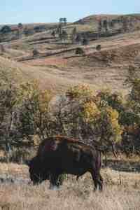 custer state park wildlife loop road