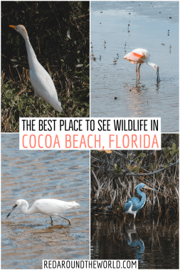 If you're in Cocoa Beach, spend a day on the Black Point Wildlife Drive in Merritt Island National Wildlife Refuge. Look for birds, alligators, and more. cocoa beach things to do | cocoa beach florida | cocoa beach vacation | florida hikes | hiking in florida | florida vacation | florida road trip | florida things to do | florida hiking | bucket list for florida | best things to do in Florida | florida places to go