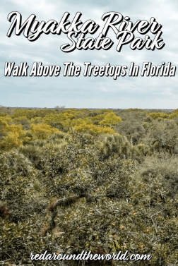 Myakka State Park is one of the best day trips from Sarasota Florida. Do the Canopy walk or hike to Deep Hole to see dozens of alligators. Florida vacation | Florida things to do | Sarasota vacation | Sarasota Florida | Sarasota state park | Florida photography | sarasota Florida things to do | myakka state park florida | florida state park | Florida beaches #Florida #USA