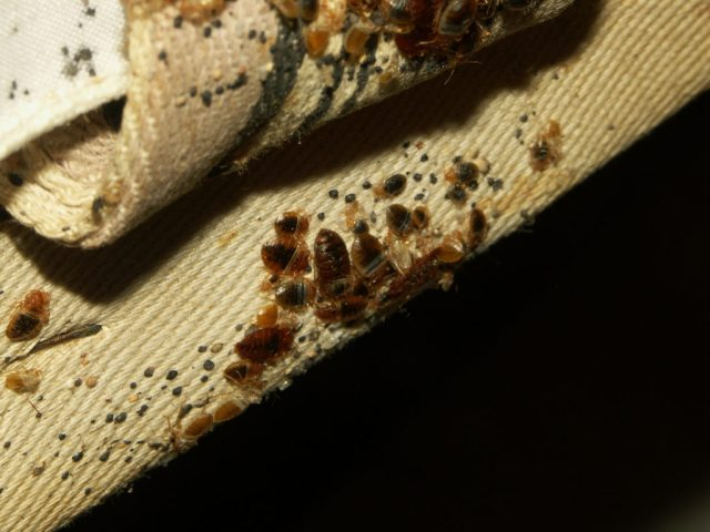 removing bed bugs