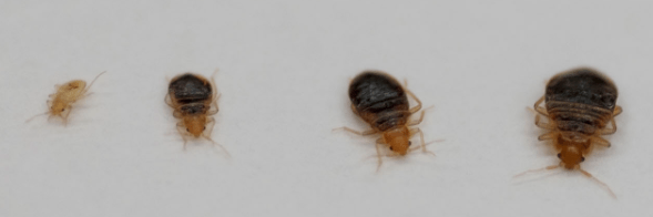 Bed Bug Larvae And Life Stages Red Bed Bugs