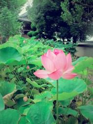more amazing lotus.