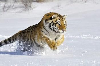 Amur Tigger бейнесі