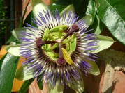 Passionflower, Germany
