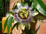 Passionflower with bee 2