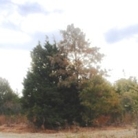 The Eastern redcedar menace