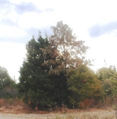 Redcedar smothering an Oak tree