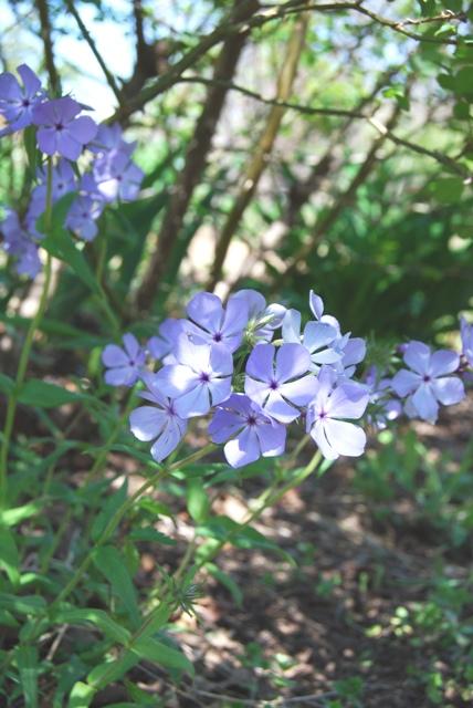 Phlox divaricata, woodland phlox.