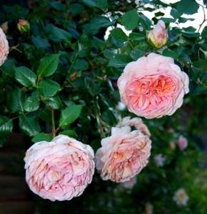 'Abraham Darby' has weak stems, but this makes the heavy flowers hang beautifully.
