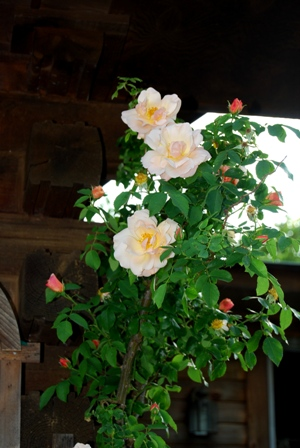 Apricot Mystery Rose