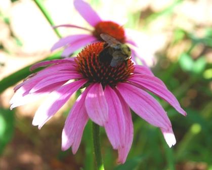 Bumblebee on Echinacea purpurea.
