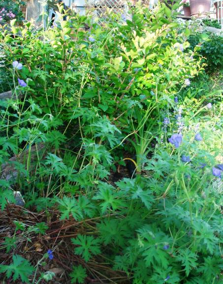 Geranium 'Johnson's Blue' that I once grew in partial shade in my garden.