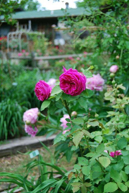 Rosa 'Mme. Isaac Pereire' with