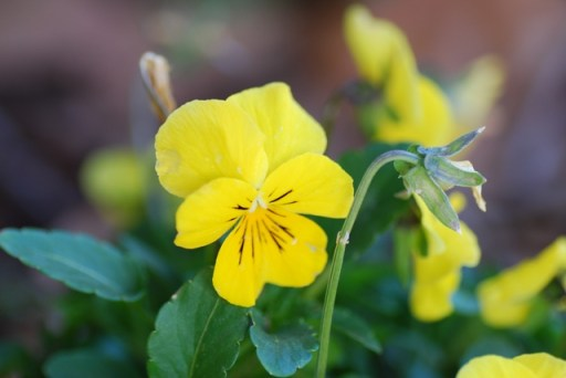 Viola 'Lemon Sorbet'