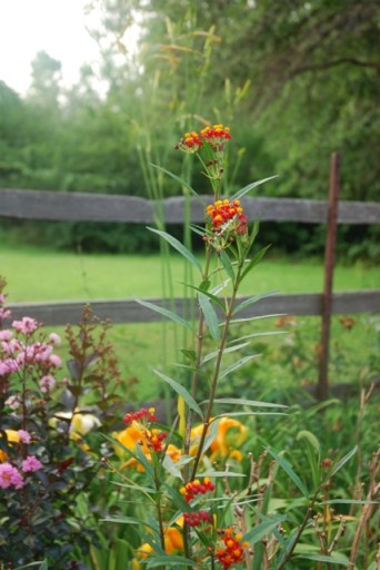 Asclepias curassavica, Tropical Milkweed