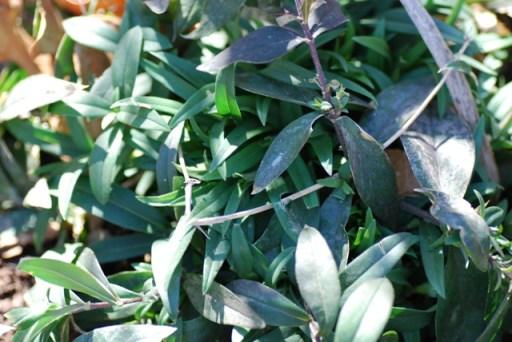 Phlox divaricata, woodland phlox
