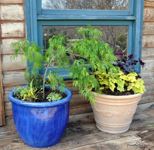 If I'd had a larger container, I would have underplanted the Japanese maple with the Heucherella 'Stoplight' and Huechera 'Obsidian.'  Next to it was the next best thing.