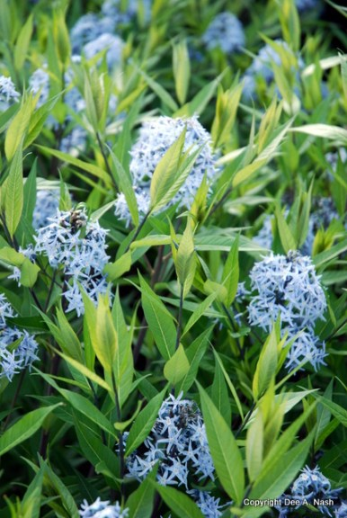 Amsonia taberna, blue dogbane