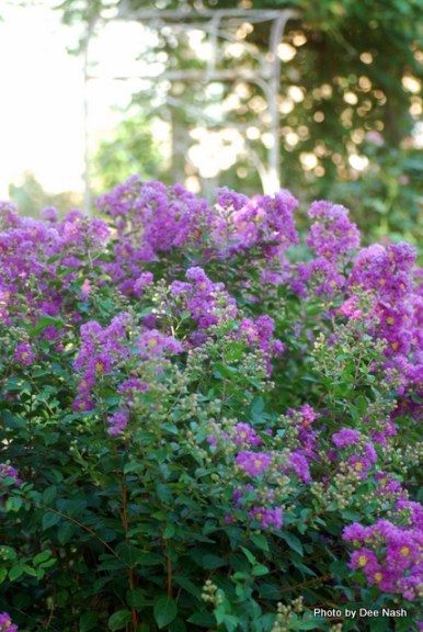 The dwarf purple crapemyrtle always shines whether the weather is hot or cool.