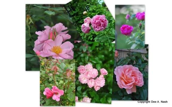 R. 'Applejack', P. 'Sarah Bernhardt', R. 'Basye's Blueberry', R. 'Mutabilis', R. 'The Fairy' and R. E.E. Sweet Fragrance