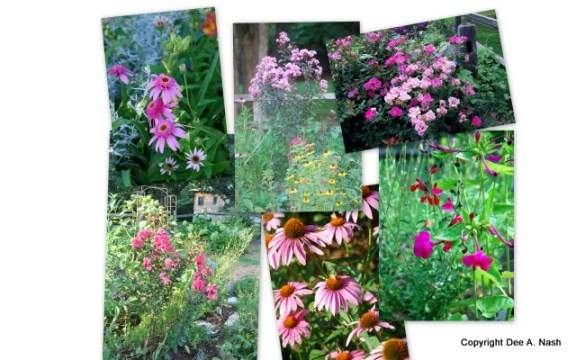 Echinacea purpurea 'Pink Double Delight', crapemyrtle Rhapsody in Pink®, Pink Knockout® rose, Pink Velour® crapemyrtle, Echinacea purpurea, heirloom four o'clocks