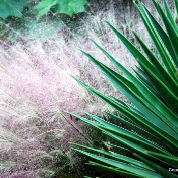A pink muhly grass cloud floats behind a spiky yucca. I thought the juxtaposition begged to be photographed.