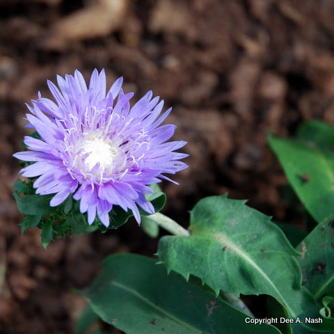 Stokesia laevis 'Blue Danube'