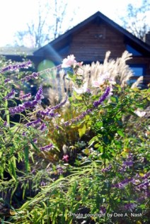 Mexican bush sage and maiden grass