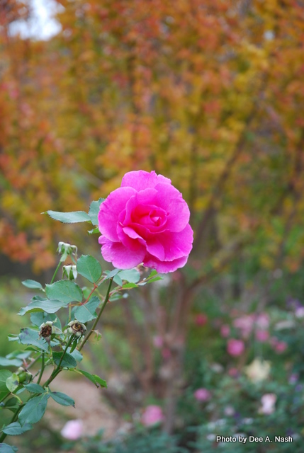 'Carefree Beauty' rose blooming in October.