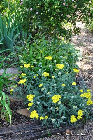 Achillea millefolium, common yarrow