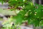 Acer palmatum 'Sango kaku' Japanese maple