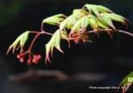 Acer palmatum 'Tsuma gaki' Japanese maple