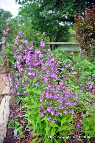 Penstemon smallii 'Violet Dusk' is a beautiful, delicate penstemon I'm thrilled to have in my garden.