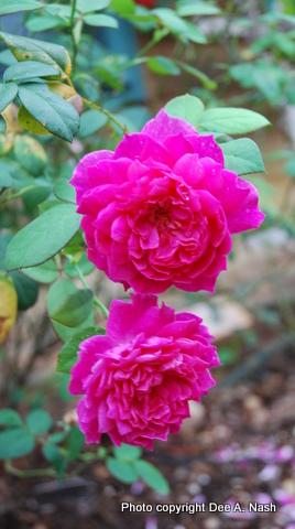 Rosa 'Sophy's Rose' a David Austin