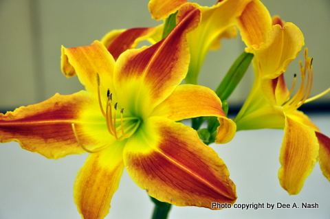 Why enter daylily shows.