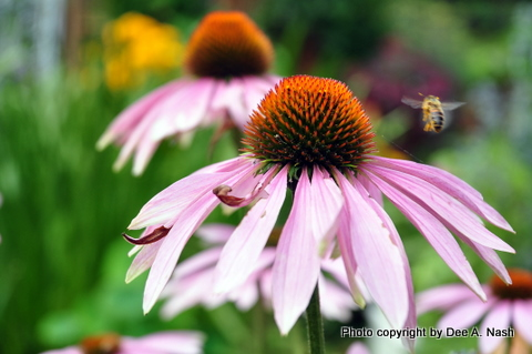 Echinacea purpurea with honeybee in a Buffalo garden.