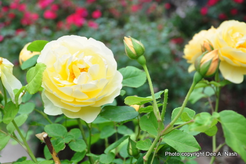 'Buff Beauty' rose from 2010.