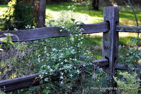 Evil autumn clematis reseeded against the garden's split rail fence.