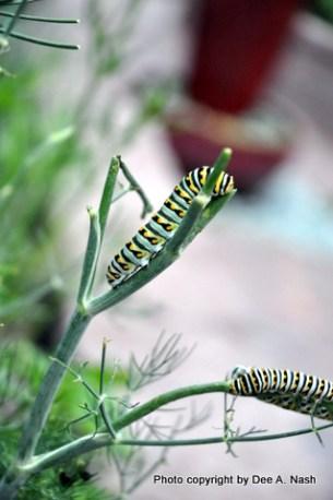 Swallowtail caterpillar eating dill.