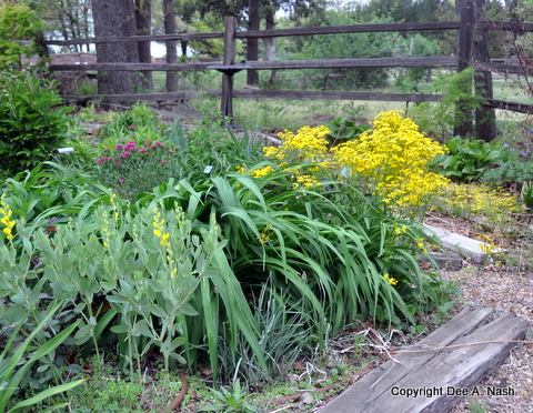 Lower bed of heirloom dianthus, Packera obovata and yellow baptisia