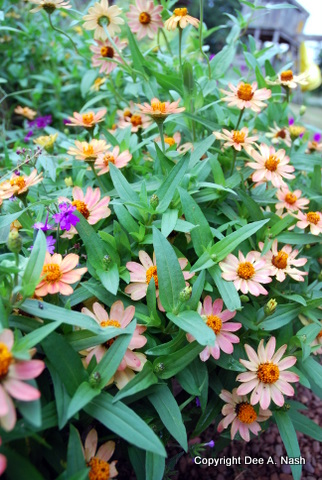 Ten easy flowers to grow in oklahoma red dirt ramblings zinnia angustifolia mightylinksfo
